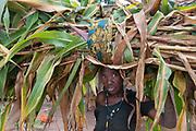 Rwanda.Kibeho. Woman carrying heavy burden of maize leaves for cattle fodder.