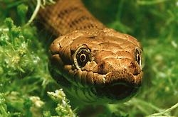 Natrix tessellata, Würfelnatter, dice snake, Norditalien