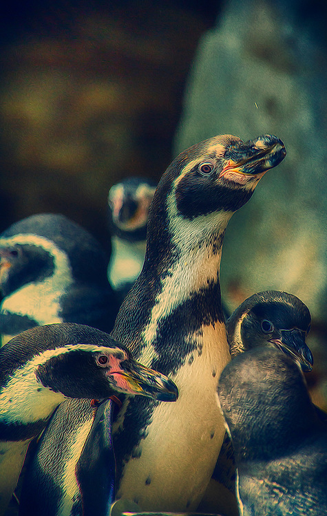 Humboldt penguins share their name with the chilly Humboldt Current, which flows north from Antarctica along the Pacific Coast of South America, where the birds live. Both birds and current are named after the 18th-century explorer Alexander von Humboldt.