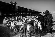 Nouadhibouh, Mauritania - 20 January, 2016:<br /> The Iron Train in Mauritania is one of the longest train in the world, the train has about 2.5 km. A journey that goes from Nouadhibouh to Zouerate, totaling of 652 km in the middle of the Sahara desert that lasts about 16 hours (with the wagons empty) and 20 hours (with wagons fulls). An epic journey where residents, poor and penniless use dangerous train to visit relatives in the homeland or carrying goods such as live animals or fruits. High temperatures during the day and very low temperatures during the night makes the journey is not easy to do. But the worst is the dust that is produced by around 220 wagons full of iron minerals (around 20 000 tonnes) that come from a mine about 30km of Zouarate, north of Mauritania, to be unloaded in cargo boats in the port of Nouadhibouh. For those who have more money you can use the last carriage, which is a carriage for passengers where the price of each ticket is about $ 3. But the conditions are not the best. Typical carriage of years 50/60 where everything is old and the smell of urine is a constant throughout the 20-hour trip.<br /> <br /> The train is often used for the transport of animals such as goats. Passengers put the goats in train. The final destination is Zouarete.