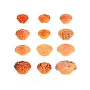 Twelve crab shells on a white background, Bar Harbor, Maine. Rock Crab (Cancer irroratus), Jonah Crab (Cancer borealis), and Green Crab (Carcinus maenas).