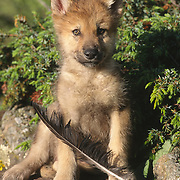 Gray Wolf (Canis lupus) pup with a feather in the Rocky Mountains of Montana. Captive Animal