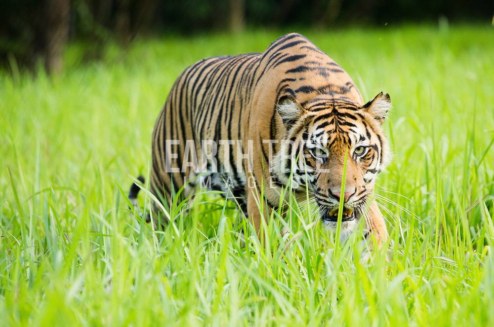 A semi-wild Sumatran Tiger (Panthera tigris sumatrae) is seen at the Tambling Wildlife Nature Conservation, Rescue centre in the Bukit Barisan National Park, South Sumatra, Indonesia, 01st November 2013. photo: Paul Hilton