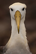 Waved albatross (Phoebastria irrorata)<br /> Española or Hood Island<br /> Galapagos Islands<br /> ECUADOR.  South America<br /> ENDEMIC TO GALAPAGOS. However a few pairs nest on Isla de la Plata near the Ecuadorian mainland. +-12,000 pairs breed on the Island of Española in Galapagos. They only come ashore between April and December to breed, otherwise they spend their entire life at sea. Once an albatross chick fledges and goes to sea it will remain there until it is 4 years old before returning to land to breed for the first time. Albatross mate fore life and live about 40 years. They form part of the family of tube-nosed birds.<br /> <br /> [#Beginning of Shooting Data Section]<br /> Nikon D2X<br /> Focal Length: 420mm<br /> Optimize Image: <br /> Color Mode: Mode II (Adobe RGB)<br /> Long Exposure NR: Off<br /> High ISO NR: On (Normal)<br /> 2007/07/27 09:53:44.7<br /> Exposure Mode: Aperture Priority<br /> White Balance: Cloudy<br /> Tone Comp.: Normal<br /> RAW (12-bit)<br /> Metering Mode: Multi-Pattern<br /> AF Mode: AF-C<br /> Hue Adjustment: 0°<br /> Image Size: Large (4288 x 2848)<br /> 1/2000 sec - F/5.6<br /> Flash Sync Mode: Not Attached<br /> Saturation: Normal<br /> Color<br /> Exposure Comp.: -1.7 EV<br /> Sharpening: None<br /> Lens: 300mm F/2.8 D<br /> Sensitivity: ISO 400<br /> Auto Flash Comp: 0 EV<br /> Image Comment:                                     <br /> [#End of Shooting Data Section]