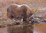 """Alaska; Muskox (Ovibos moschatus) bull drinking from a mountain stream on the autumn tundra of the Seward Peninsula, outside of Nome.  Muskox, called omingmak meaning """"the animal with skin lake a beard"""" by the local Inupiaq people."""
