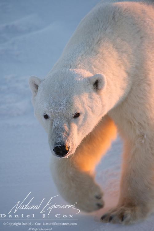 Polar bear, Cape Churchill, Hudson BAy, Manitoba.