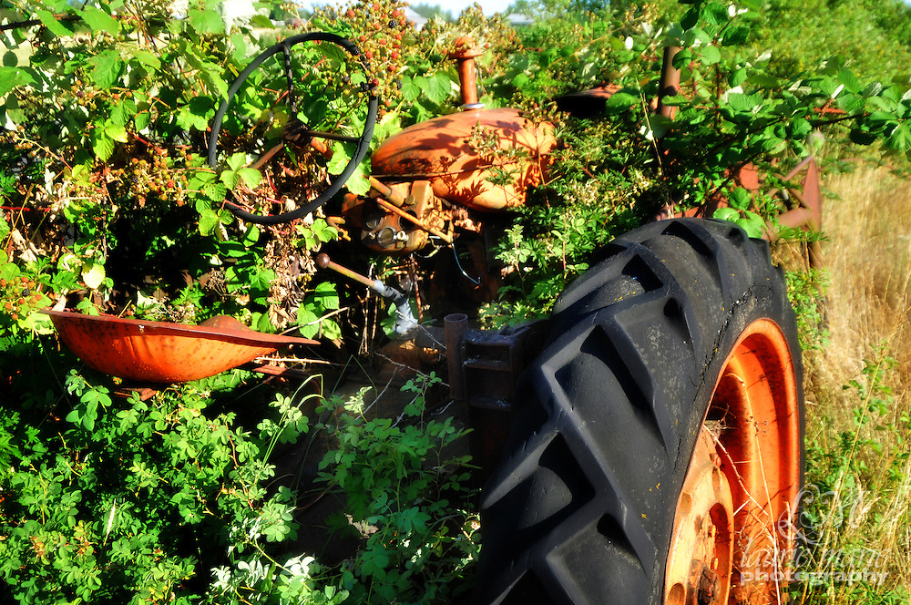 This old, abandoned CO-OP tractor has almost been completely covered in blackberries