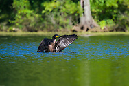A Double-crested Cormorant splashes as it prepares to take off in flight from the water. (Michigan)