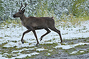 Woodland Caribou in early snow storm (Rangifer tarandus caribou)<br />Stone Mountain Provincial Park<br />British Columbia<br />Canada