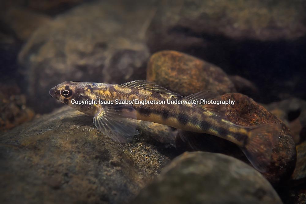 Appalachia Darter<br /> <br /> Isaac Szabo/Engbretson Underwater Photography