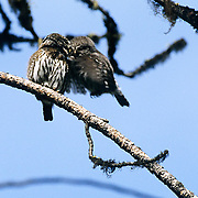 Northern Pygmy Owl, (Glauidium gnoma) Male flies up to breed with female. Lengths of copulation approx. 2 seconds based on camera firing rate of 8 pics,sec. Western Montana. Summer.