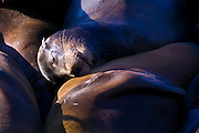 One California sea lion uses another as a pillow as they sleep on a pier in San Francisco, California. Hundreds of sea lions rest and sunbathe at Pier 39.