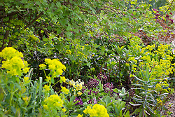 Primula auricula and Euphorbia robbiae growing in the shade border