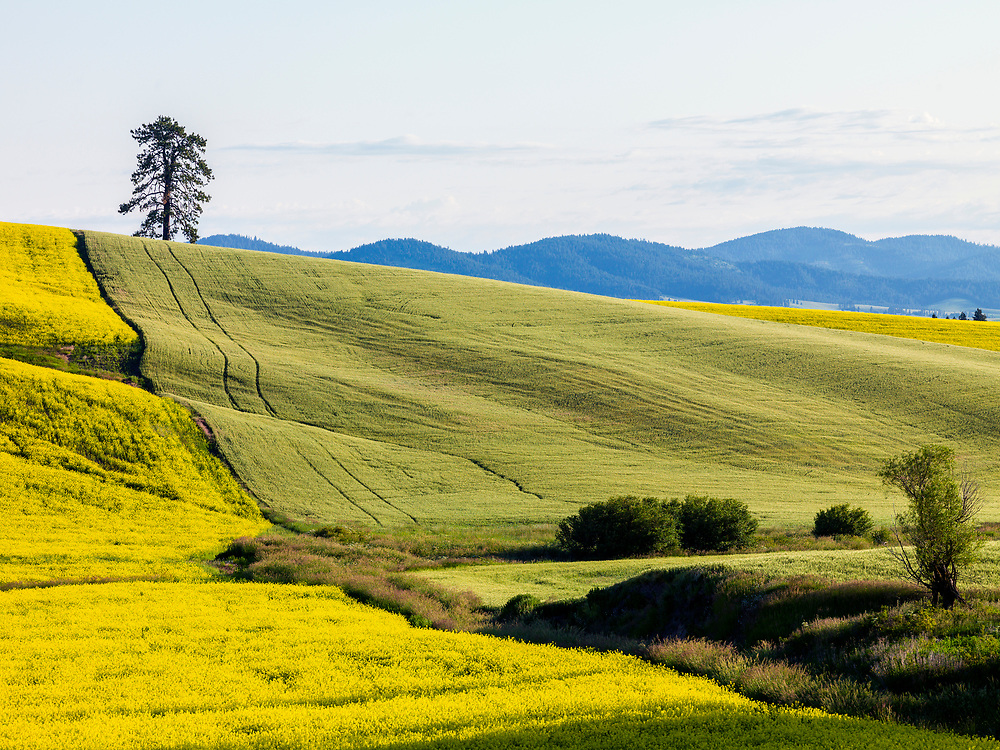 Agricultural patterns of canola and wheat create their own mosaic onthe Palouse rolling hills of North Idaho in early summer. Licensing and Open Edition Prints.