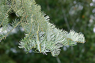 Colorado White Fir Abies concolor (Pinaceae) HEIGHT to 55m <br /> Columnar to conical tree. BARK Dark grey, fissured with age. BRANCHES Yellowish twigs bear resinous buds. LEAVES Bluish-grey needles in 2 ranks, curving upwards; to 6cm long with 2 pale blue bands below. REPRODUCTIVE PARTS Cones cylindrical, erect, 10cm long, green, ripening purple then brown. STATUS AND DISTRIBUTION Native of NW USA. Planted for ornament.