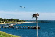 Osprey, Shelter Island Sound, Nostrand parkway, Shelter Island, NY