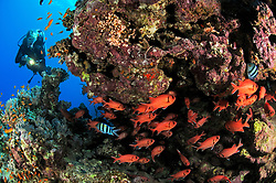 coral reef with Blotcheye soldierfish, Myripristes murdjan, and scuba diver, El Quseir, Egypt, Red Sea, MR