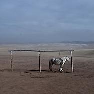 Mongolia.Orkhon valley.  horse alone in the steppe , , ADIA family , nomad and cattle breeder  near Hoton  in winter  arkangai -    / un cheval seul sur la steppe, La famille ADIA, eleveur nomade pres de Hotont dans la valle de l'Orkhon en hiver   arkangai - Mongolie