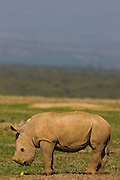 A young white rhinoceros calf ( Ceratotherium simum) looking at a small yellow bird, The Aberdares, Kenya,Africa
