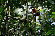 Golden-mantled Tamarin, (Saguinus tripartitus)<br /> Yasuni National Park, Amazon Rainforest<br /> ECUADOR. South America<br /> HABITAT & RANGE: Upper Amazon forest of Yasuni NP, Ecuador.<br /> IUCN CONSERVATION STATUS: Near threatened