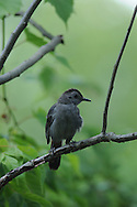 Gray Catbird perched in the bushes in Ithaca, NY.