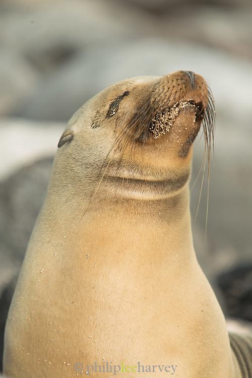 A Galapagos sea lion basks in the evening sun on Santa Crz, Ecuador, South America