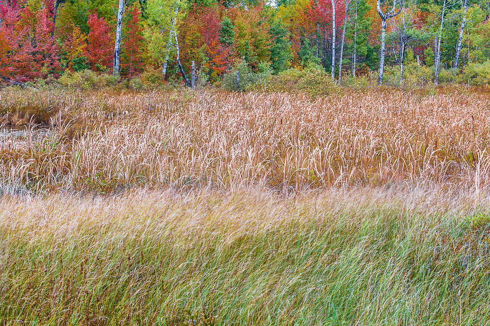 Autumn marsh with grasses and cattail, forest in the background, overcast light, October, Crawford County, Michigan, USA