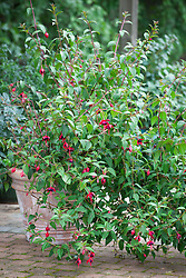 Hardy Fuchsia 'Lady Boothby' in a pot on a patio