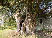 Ancient yew tree dated at 1700 years old All Saints Church, Alton Priors, Wiltshire, England, UK
