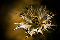 A close-up of a single thistle, surrounded by a crown of thorns.