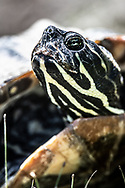 This painted turtle waited patiently as I photographed it along the bank of the lake at Eldridge Park in Upstate, NY.