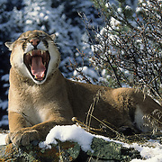 Mountain Lion or Cougar (Felis concolor) adult resting on a ridge, yawning in Montana. Captive Animal