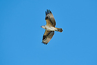 Osprey (Pandion haliaetus) in flight, Green Bay, Petite Riviere, Nova Scotia, Canada