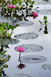 Water Lily, magenta #13 vert