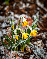 Daffodils after a quick snowfall. Winter nature in New Jersey. Image taken with a Nikon Df camera and 70-200 mm f/2.8 lens (ISO 400, 200 mm, f/2.8, 1/160 sec).