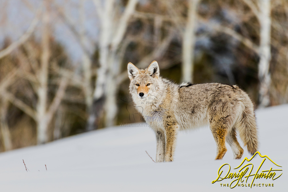 A coyote gives me a moment