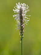 Hoary Plantain flower spike (Plantago media), growing on chalk downland, Parkgate Down, Kent UK