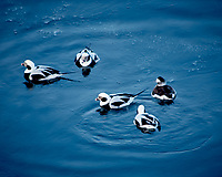 Long-tailed Duck from the deck of the Hurtigruten MS Kong Harald while departing Kirkenes, Norway. Image taken with a Nikon D2xs camera and 80-400 mm VR lens (ISO 200, 400 mm, f/5.6, 1/13 sec).