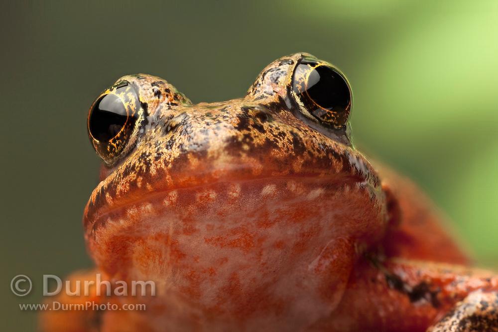 A female red-legged frog (Rana aurora) portrait. Western Oregon.