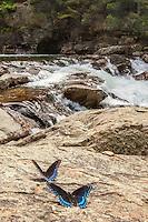 Brush-footed Butterflies. Jacks River, Cohutta Wilderness, Chattahoochee National Forest