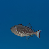 Gilded Triggerfish Gilded Triggerfish, Xanthichthys auromarginatus, (E. T. Bennett, 1832), Maui, Hawaii