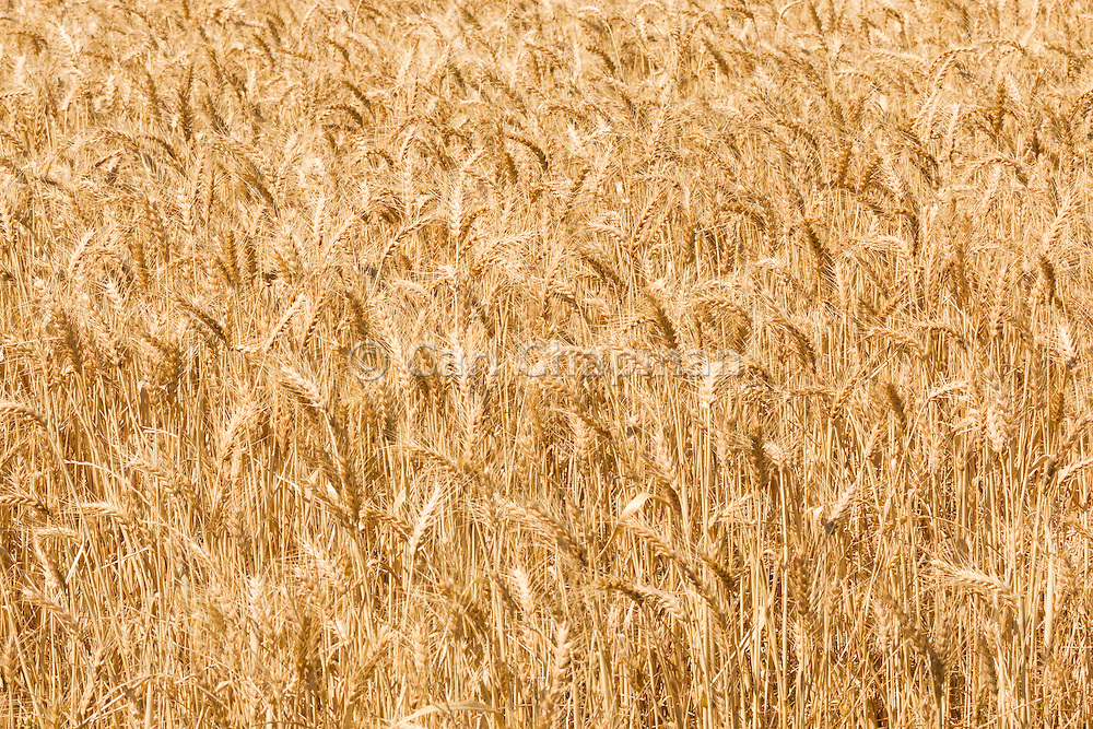Heads of golden barley in a field before harvesting in rural Brucedale, New South Wales, Australia. <br /> <br /> Editions:- Open Edition Print / Stock Image