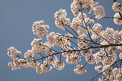Asia, Japan, Honshu island, Nara, branch of cherry tree in bloom, with blue sky behind it