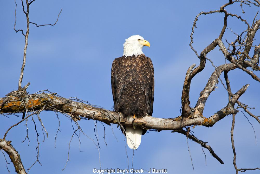 Bald Eagle Clinton Lake Kansas