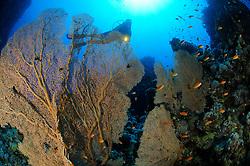 coral reef with Gorgonian sea fan, Subergorgia mollis, with Anthias and scuba diver, El Quseir, Egypt, Red Sea, MR