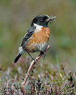 Stonechat Saxicola torquata L 12-13cm. Small, compact bird. When perched, flicks short, dark tail and utters harsh alarm call. Sexes are dissimilar. Adult male has blackish head, white on side of neck, and dark back. Breast is orange-red, grading into pale underparts. In autumn, pale feather fringes make head appear paler. Adult female is similar but colours are muted and plumage is more streaked. 1st winter bird has streaked sandy brown upperparts and head, and buffish orange underparts. Voice Utters harsh tchak call, like two pebbles knocked together. Song is rapid and warbling. Status Locally common heaths, commons and gorse-covered slopes near coast. Some dispersal, mainly to coasts, occurs in winter.