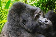 A non-habituated silverback mountain gorilla (Gorilla beringei beringei) sitting on the forest floor, Bwindi Impenetrable Forest, Uganda, Africa