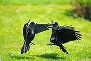 Rook (Corvus frugilegus) two birds fighting over food, Oxfordshire, UK.