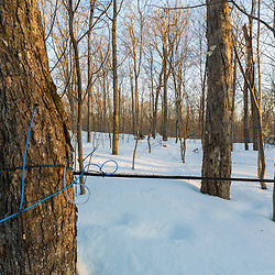 Plastic tubing is strung between sugar maple trees to transport sap to a central location for boiling. Big Six Township, Maine. This property has more than 300,000 maple syrup taps and produces 3 - 4 percent of the US maple syrup crop.
