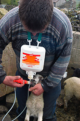 Dales farmer doses a lamb with worm treatment; Yorkshire Dales UK